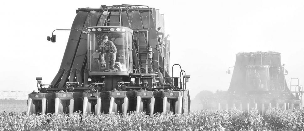 Cotton harvest starting